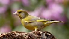 greenfinch-818185_1920