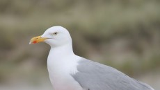 seagull-2718684_1920