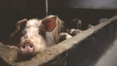 asf świnia
