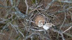 gniazdo orłą bielika