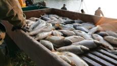 1015_odłów+ryba_karp_niemodlin (1)