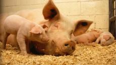 rolnictwo_świnia_asf_zwierzęta