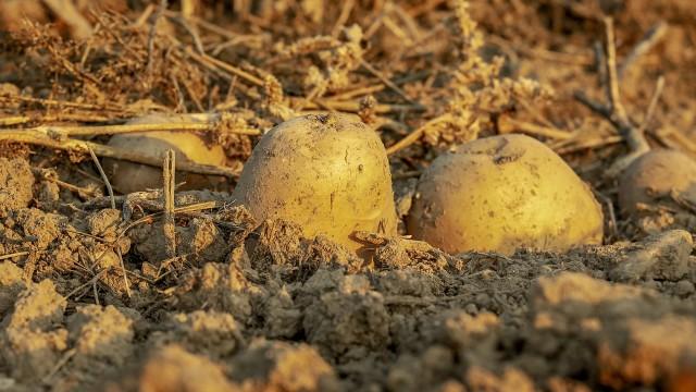 rolnicze fakty_ ziemia_pole_ziemniaki_pixabay
